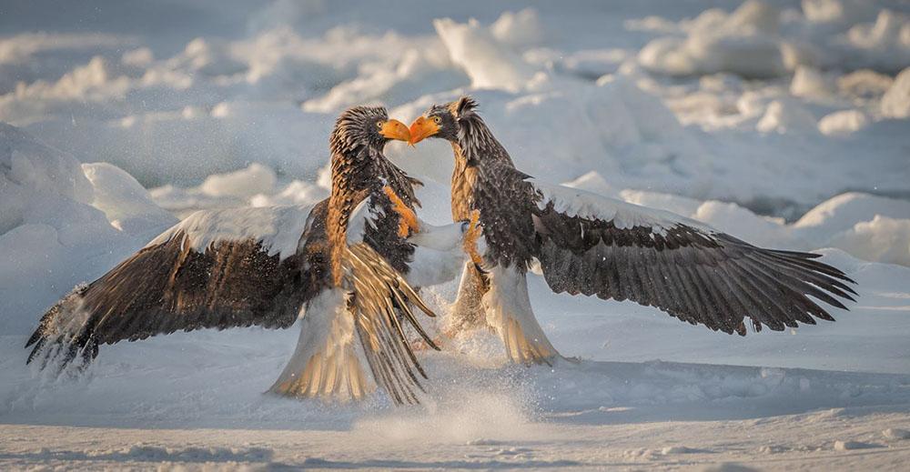 Stellers Eagles.