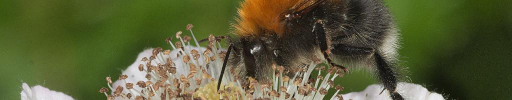 Tree-bumblebee on bramble