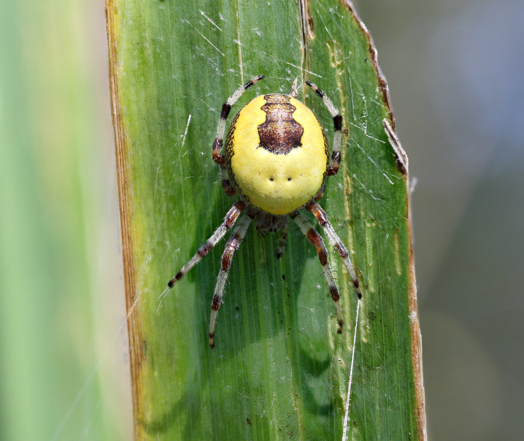 An uncommon Orb spider (Araneus marmoreus)