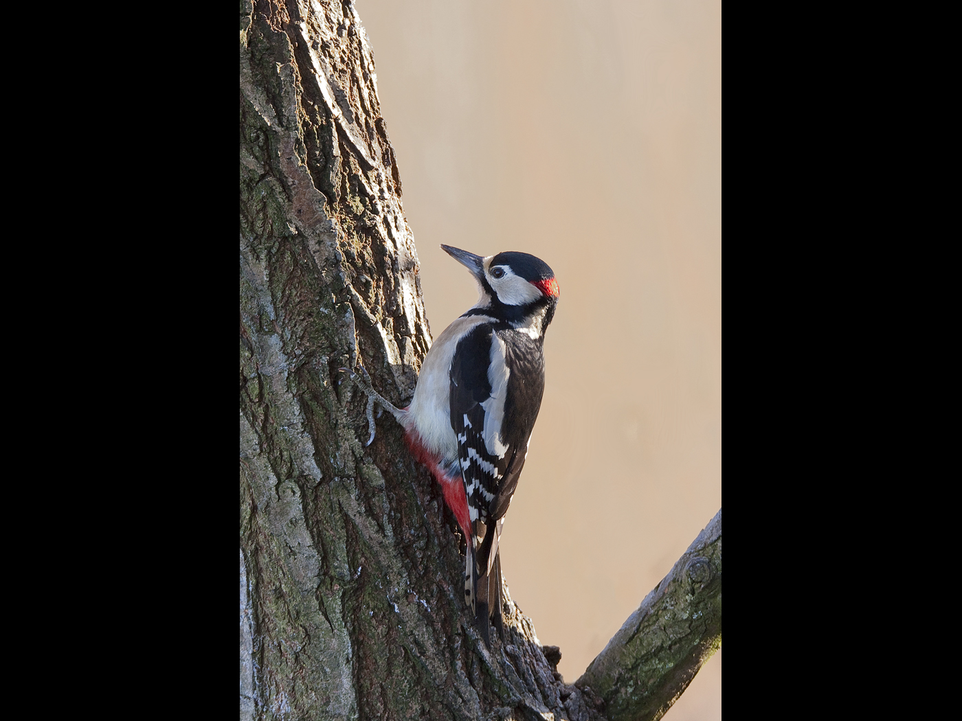 Male woodpecker