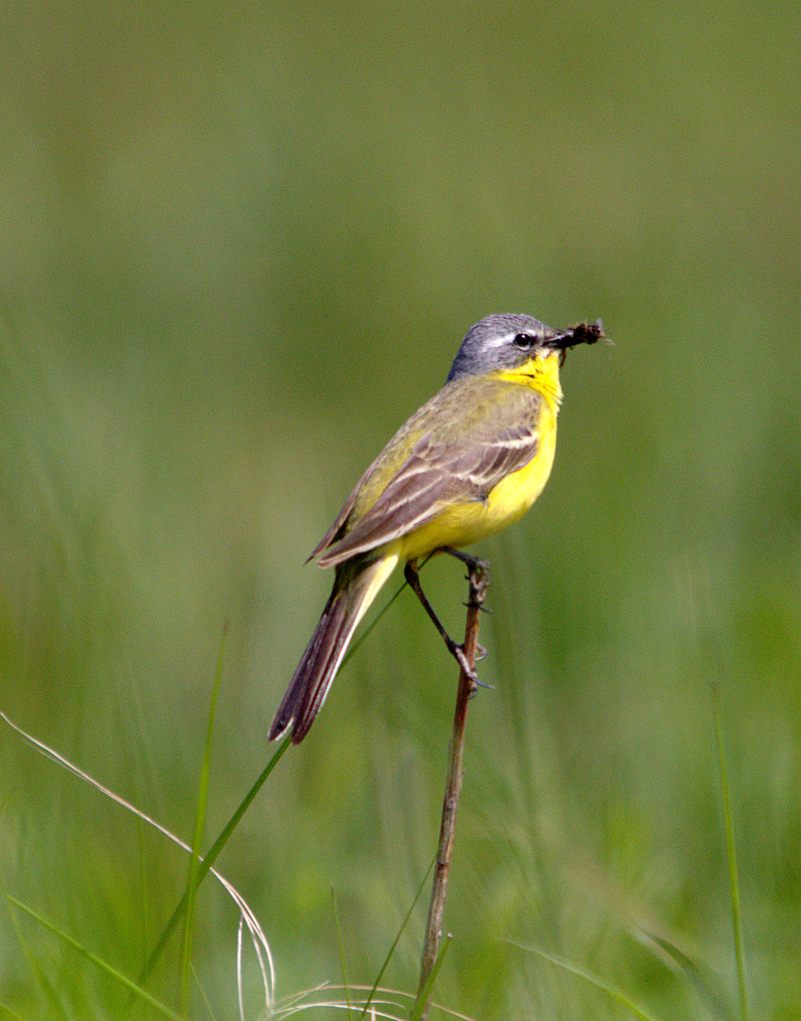 Blue-headed form of the Yellow Wagtail