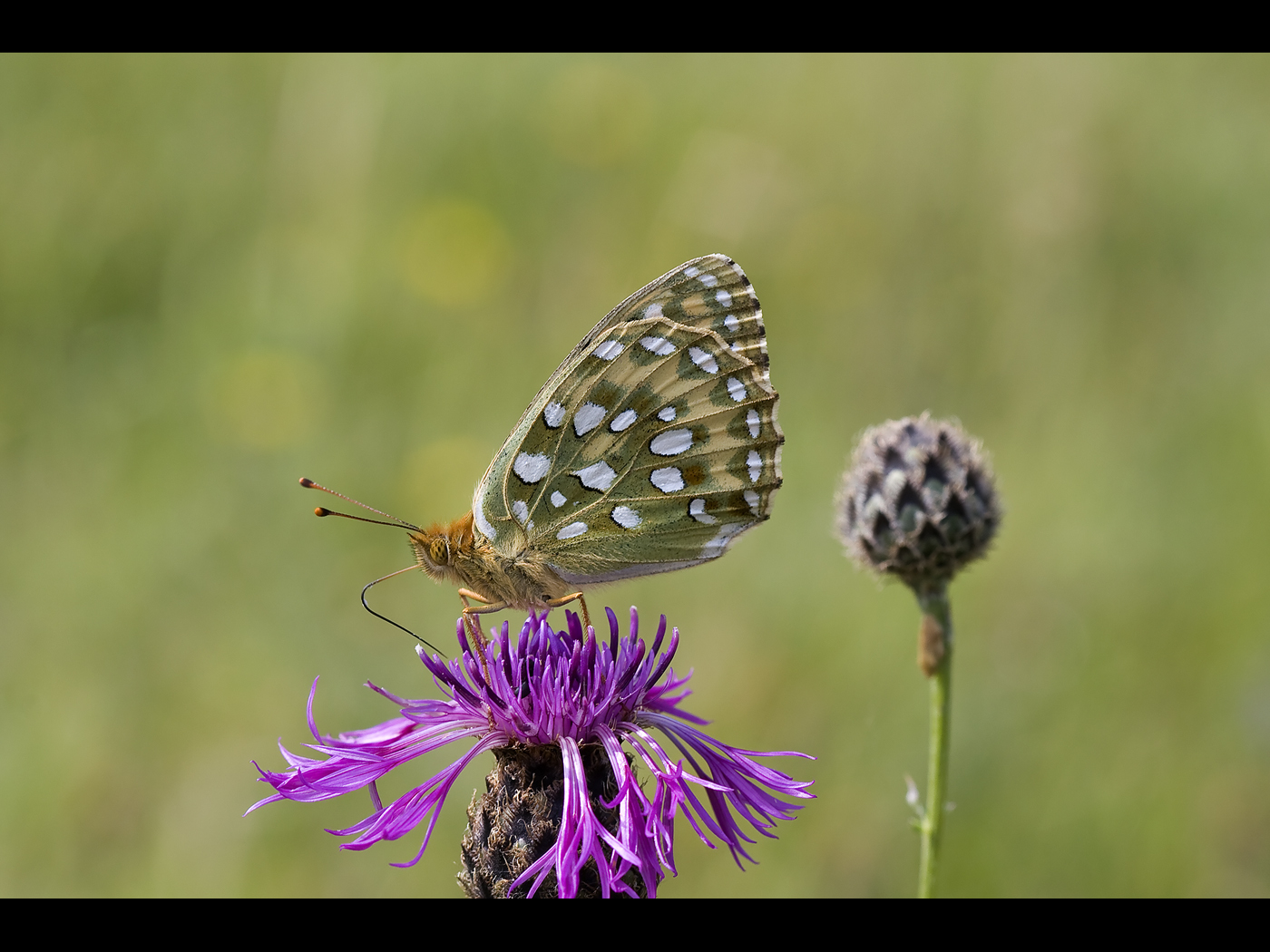 Female dark green fritillary
