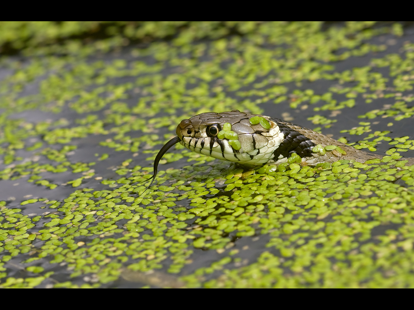 Grass snake swimming
